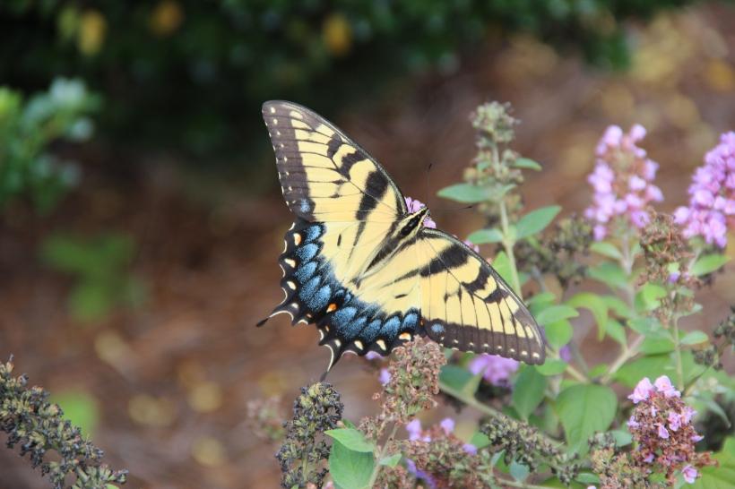 Butterfly Bush 005