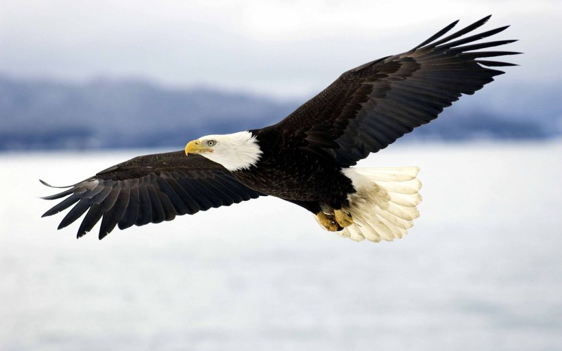 Latest-Bald-Eagle-In-Flight-HD-Wallpapers-Free-Download-8